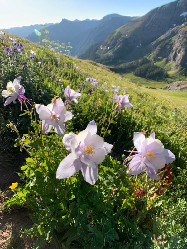 columbine wildflowers on ice lake trial colorado